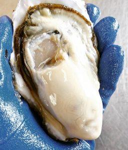 東北食材ご紹介・宮城の牡蠣のルーツを探る!